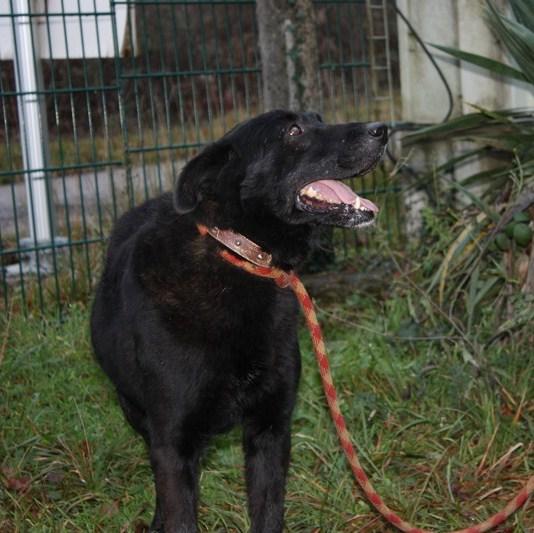 THUNDER Croisé Retriever Labrador noir 250269600456900 Thunde13