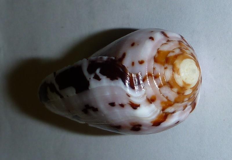 Conus (Pionoconus) floccatus   GB Sowerby I, 1841 - Page 3 09310
