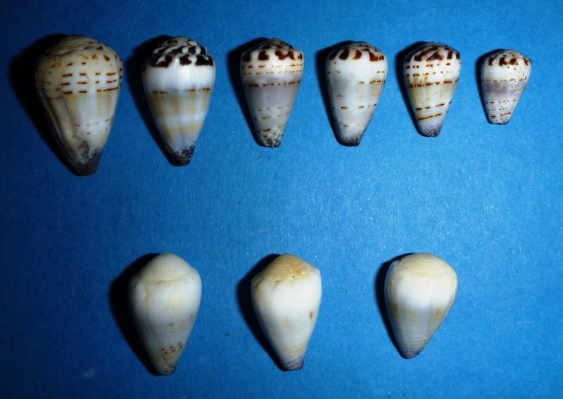 Conus (Harmoniconus) musicus  Hwass in Bruguière, 1792 09810