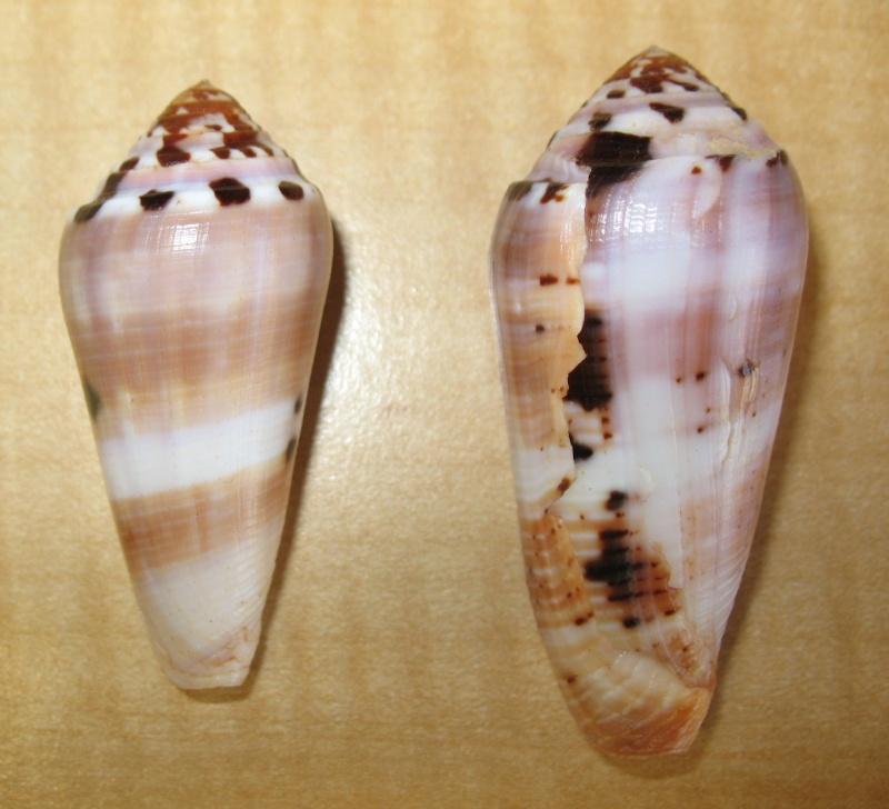 Conus (Pionoconus) floccatus   GB Sowerby I, 1841 - Page 3 Img_1310