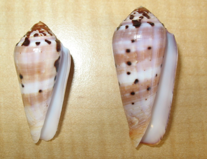 Conus (Pionoconus) floccatus   GB Sowerby I, 1841 - Page 3 Img_1311
