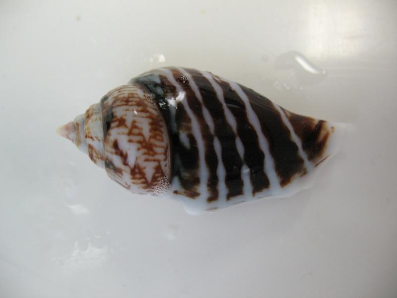 Gibberulus gibberulus gibbosus - (Röding, 1798) Img_1410