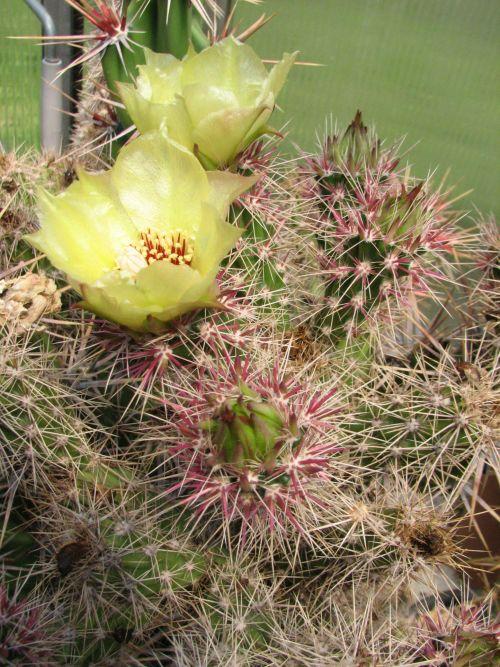 Corynopuntia invicta Coryn_11