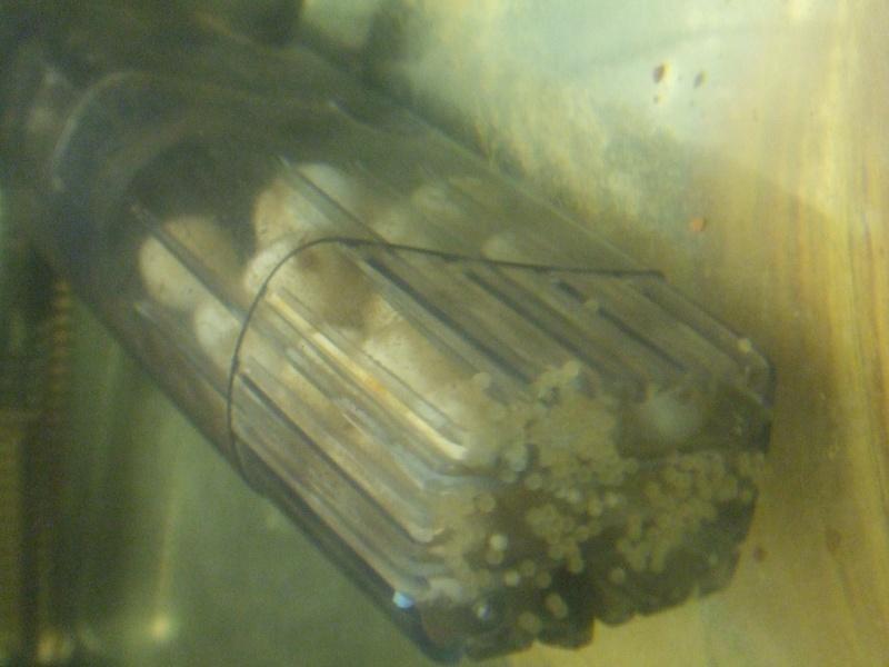 Méthode pour la reproduction des Corydoras Dscf1121