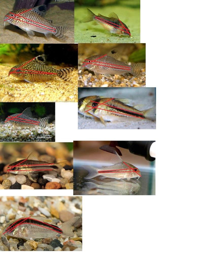 L'œil, point de départ des motifs des Corydoras Oeil_c10