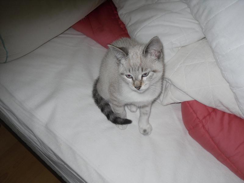 Trouvé dans le couloir d'un immeuble, chaton siamois Photo_14