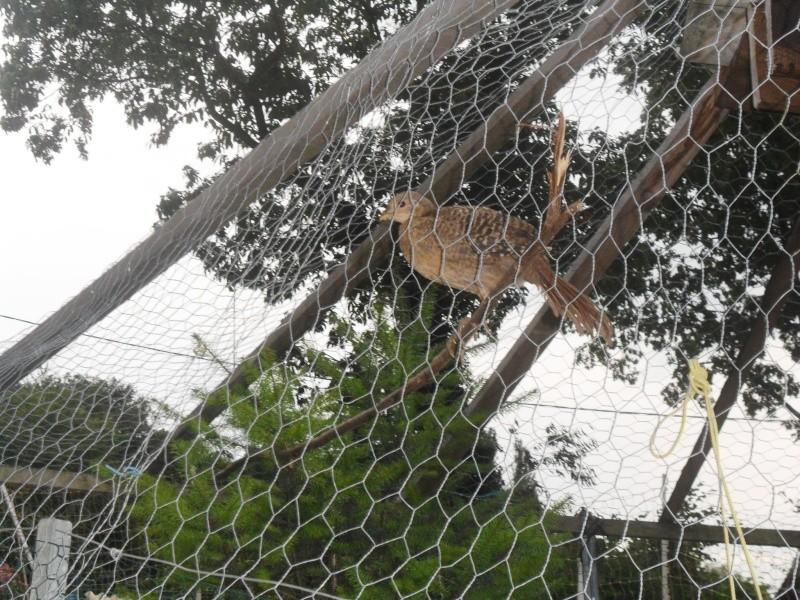tourterelles tigrines 03310