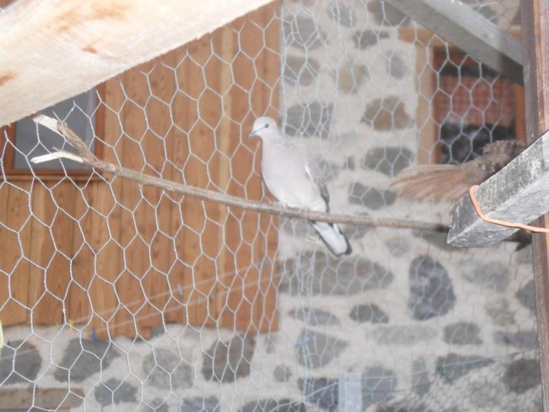 tourterelles tigrines 03710