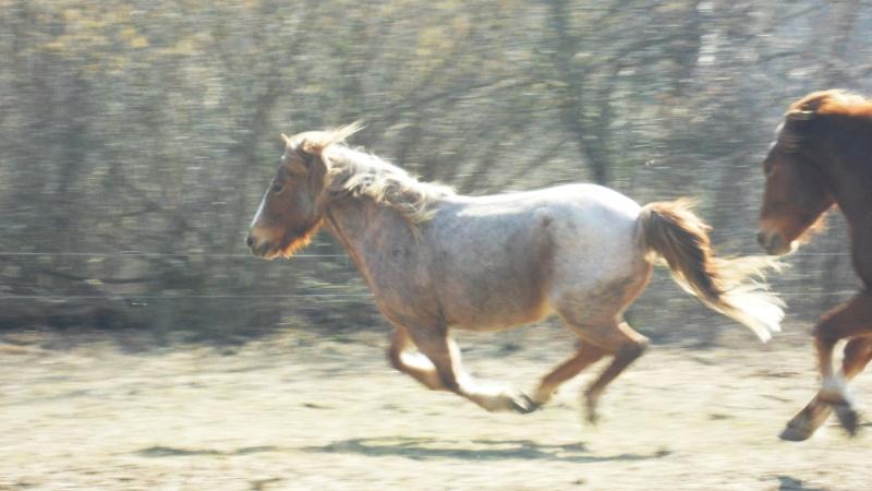 "Concours : ""cheval au galop"" GAGNANTE : TItâne Sam_4111"