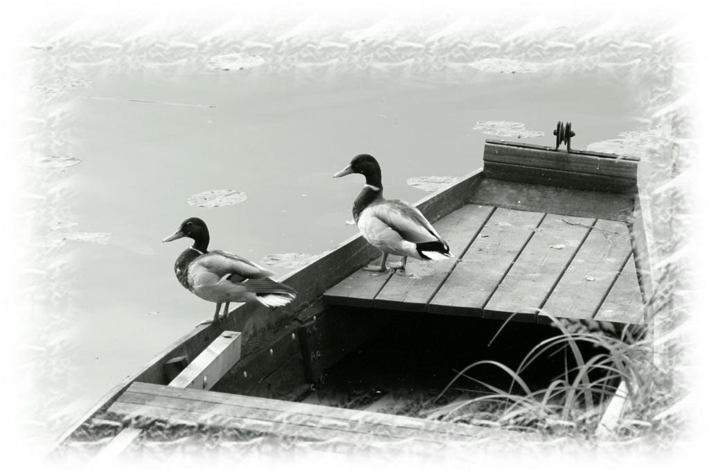 Concours des mois de juillet/ août 2012. Thème : Le noir et blanc  Canard10