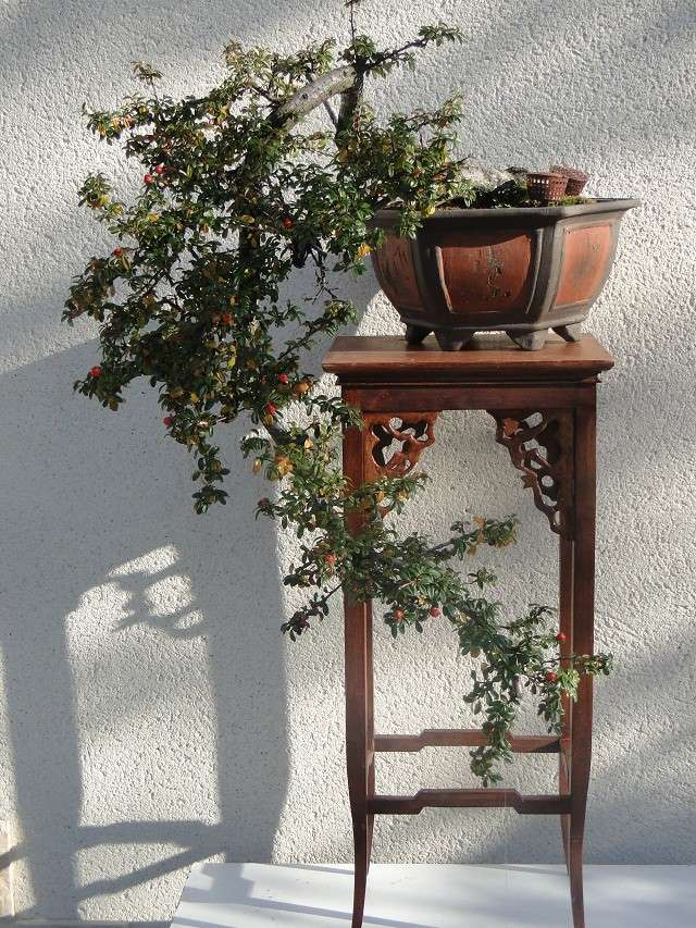 re:cotoneaster  00213