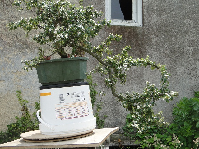 re:cotoneaster  07110