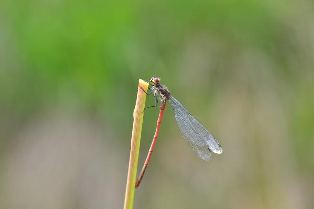 Si vous aimez les libellules ......... Dsc_0364
