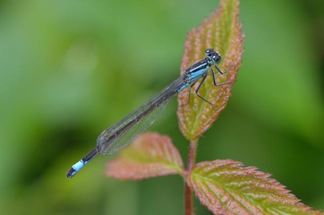 Si vous aimez les libellules ......... Dsc_0366