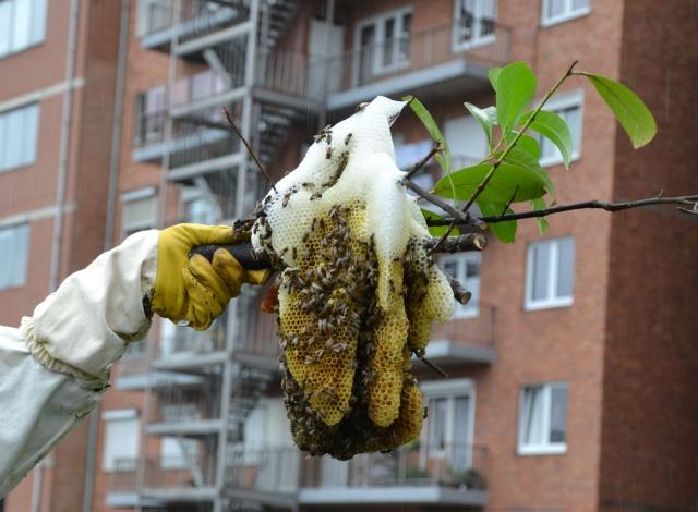 Opération, sauvetage d'abeilles  Dsc_0375