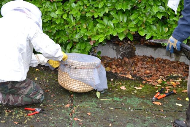 Opération, sauvetage d'abeilles  Dsc_0376