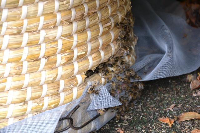 Opération, sauvetage d'abeilles  Dsc_0377