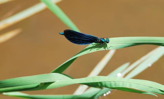 Si vous aimez les libellules ......... Dsc_1137