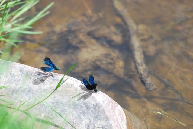 Si vous aimez les libellules ......... Dsc_1138