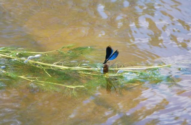 Si vous aimez les libellules ......... Dsc_1139