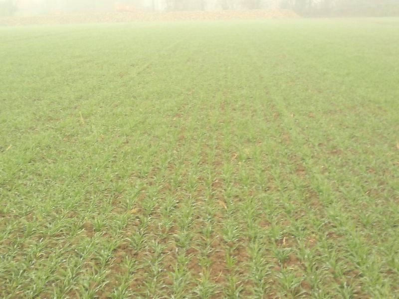 tof blés ds le nord 23112011