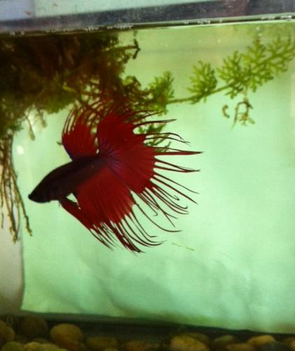 Ordering Bettas online Paco11