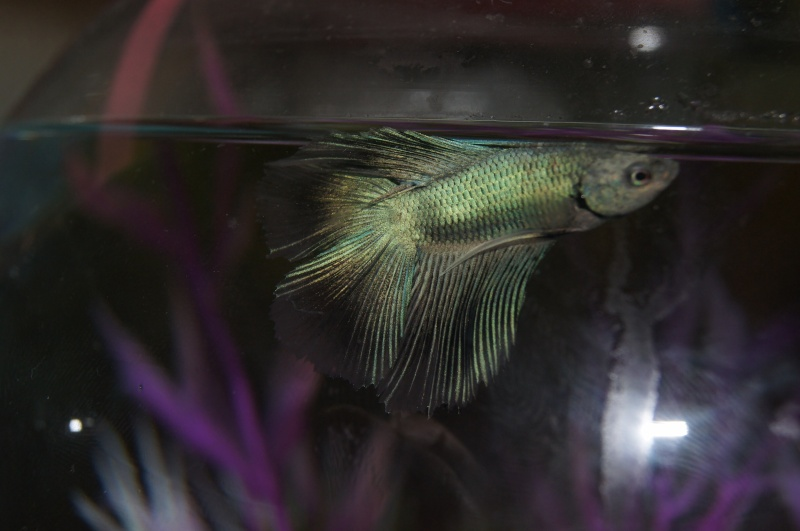 [ PHOTOS ] Les nids de bulles de nos poissons Dsc01330