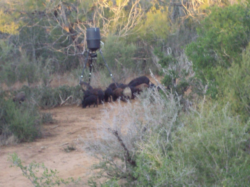 Four hogs down Lunch11