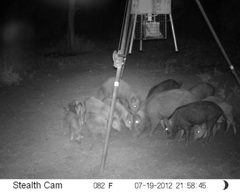 More hogs Sunp0017