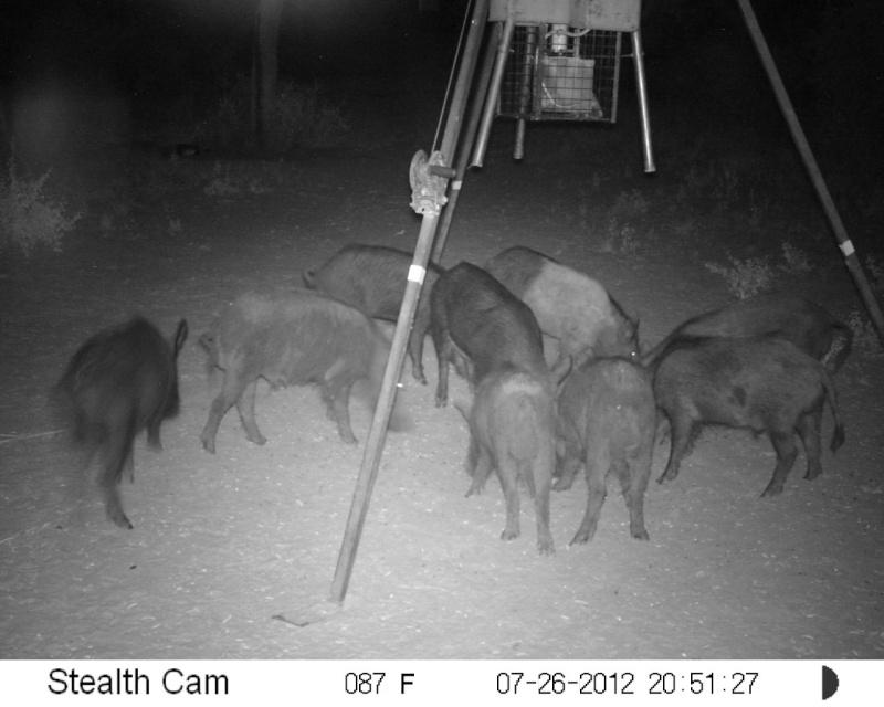 More hogs Sunp0710