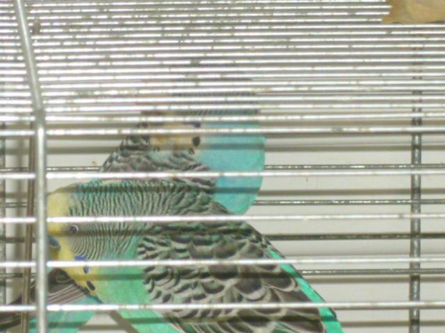 mes perruches ondulées - Page 2 P1000339