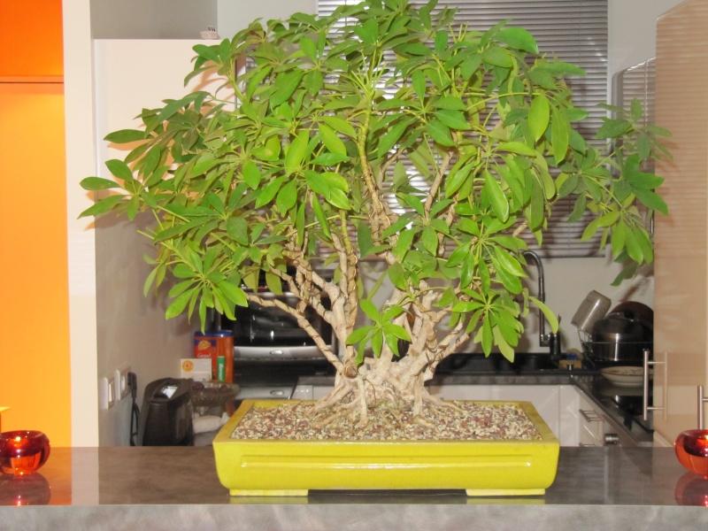 mon 1er bonsai Img_0811