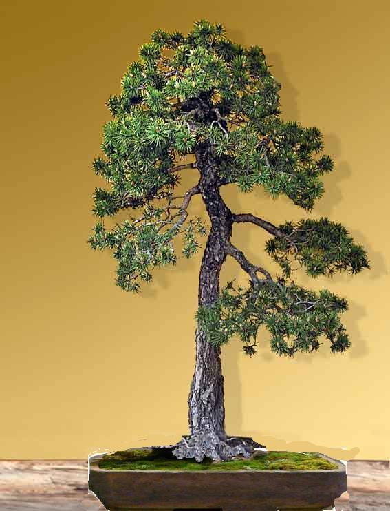 pin sylvestre Pinusp10