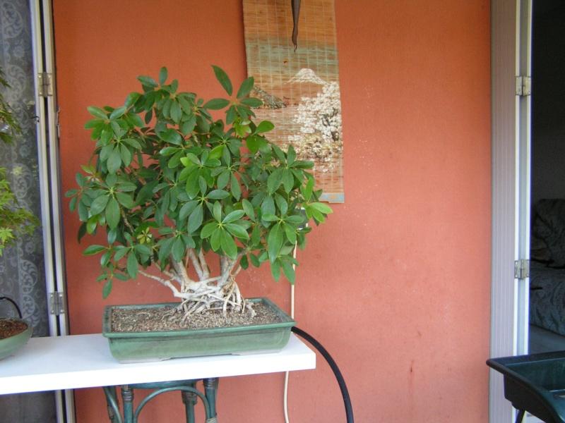 mon 1er bonsai Scheff11