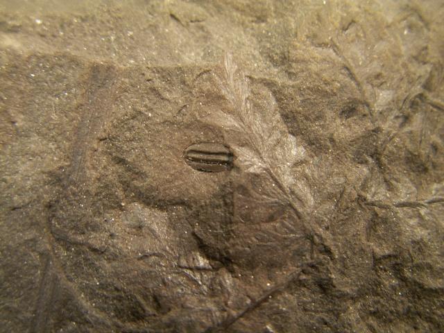 Rhodeites  Urnatopteris   Furkat26