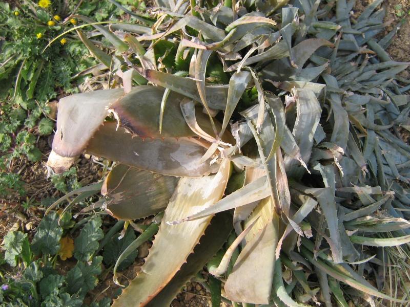 Bilan hiver 2011/2012 : les plantes  après cette vague de froid Gel_fa34