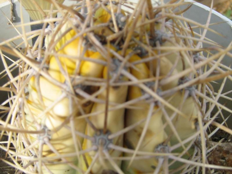Bilan hiver 2011/2012 : les plantes  après cette vague de froid Gel_fa35