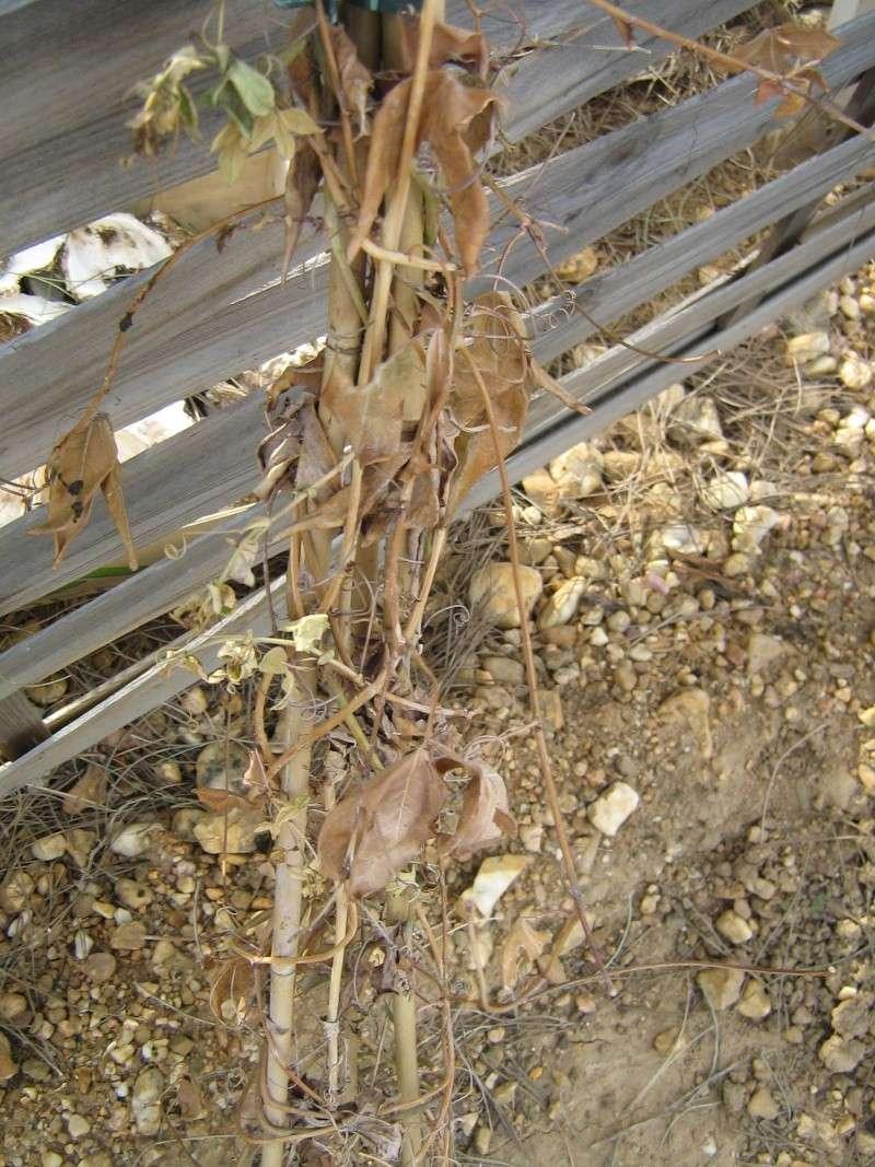 Bilan hiver 2011/2012 : les plantes  après cette vague de froid Gel_fa36