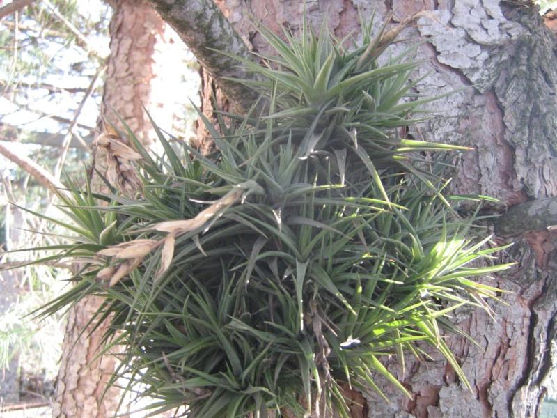 Espéces exclusivement épiphytes adaptables en zone 9 médi. Plante13