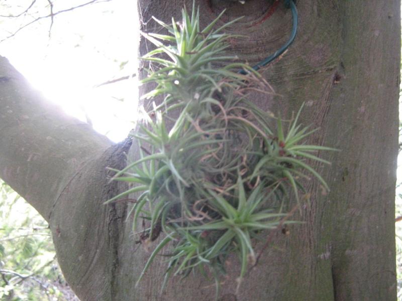 Espéces exclusivement épiphytes adaptables en zone 9 médi. Plante14