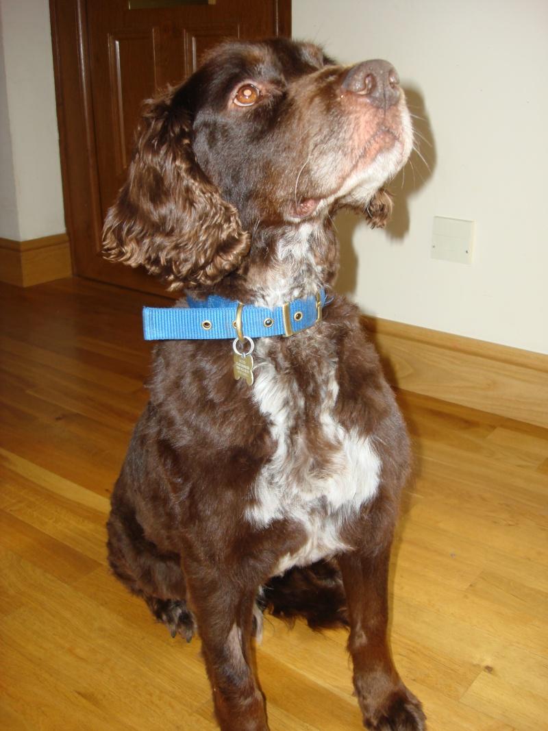 Denzel - Working Cocker Spaniel, Dog (5 Years)  Dsc04913