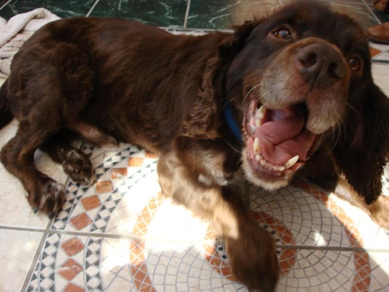 Denzel - Working Cocker Spaniel, Dog (5 Years)  Dsc05010