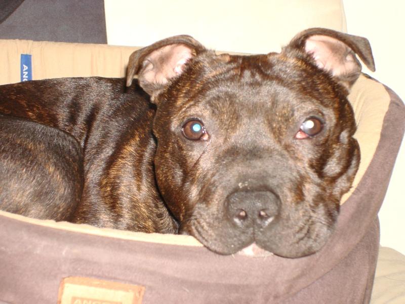 Tucker - Staffie, Dog (2 Years) FOSTERED IN TENBURY WELLS  Dsc05510