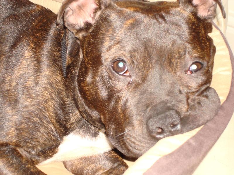 Tucker - Staffie, Dog (2 Years) FOSTERED IN TENBURY WELLS  Dsc05511