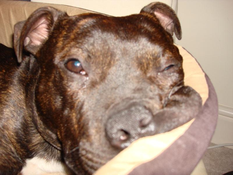 Tucker - Staffie, Dog (2 Years) FOSTERED IN TENBURY WELLS  Dsc05512