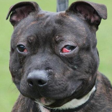 Tucker - Staffie, Dog (2 Years) FOSTERED IN TENBURY WELLS  Tucker10