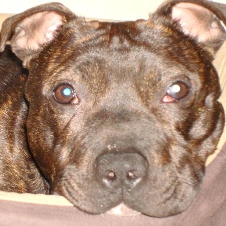 Tucker - Staffie, Dog (2 Years) FOSTERED IN TENBURY WELLS  Tucker11