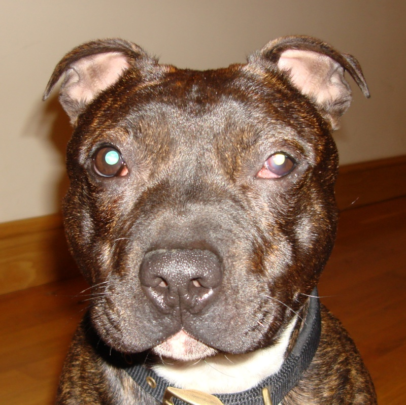 Tucker - Staffie, Dog (2 Years) FOSTERED IN TENBURY WELLS  Tucker12