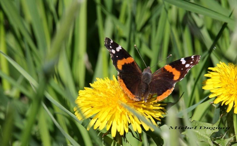 Papillon  Img_4812