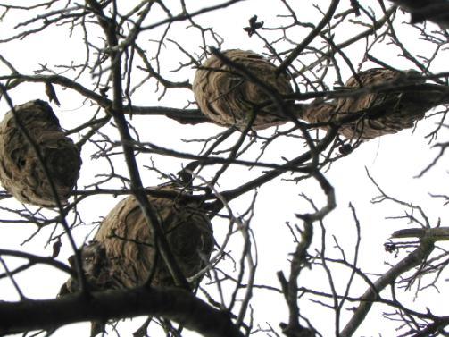 plusieurs nids ,pas loin l'un de l'autre  Abeill10